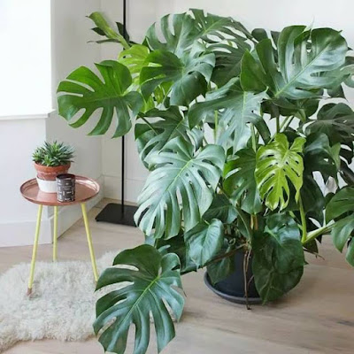 Monstera alias Janda Bolong