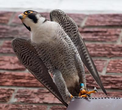 Peregrine Falcon at Arnhem Milnerton Cape Town (Canon EOS 70D / 400mm lens) 01
