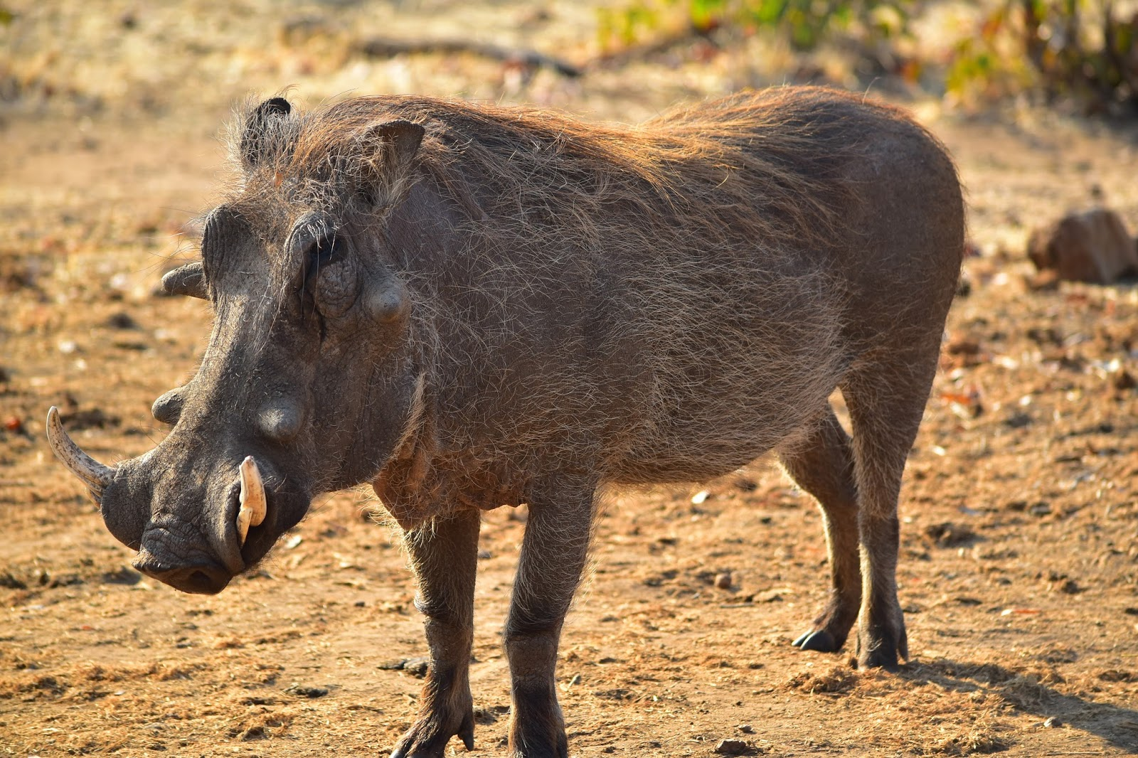 A picture of a warthog.