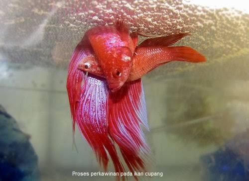 Ciri-Ciri Ikan Cupang Jantan Siap Kawin