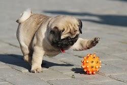 Dynasty (Pug Dog)