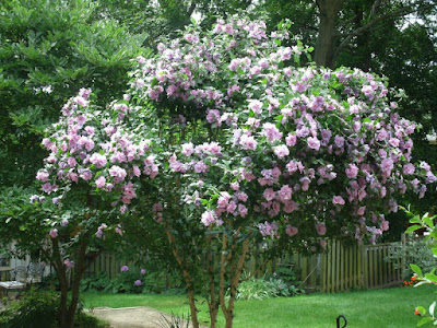 Hibiscus syriacus lavender chiffon Rose of Sharon shrub loaded with blooms by garden muses: a Toronto gardening blog