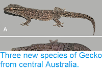 https://sciencythoughts.blogspot.com/2014/06/three-new-species-of-gecko-from-central.html