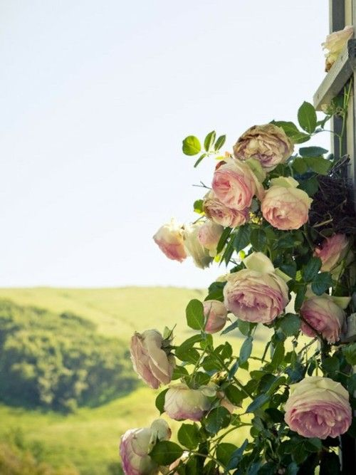 Gorgeous roses growing in the European countryside