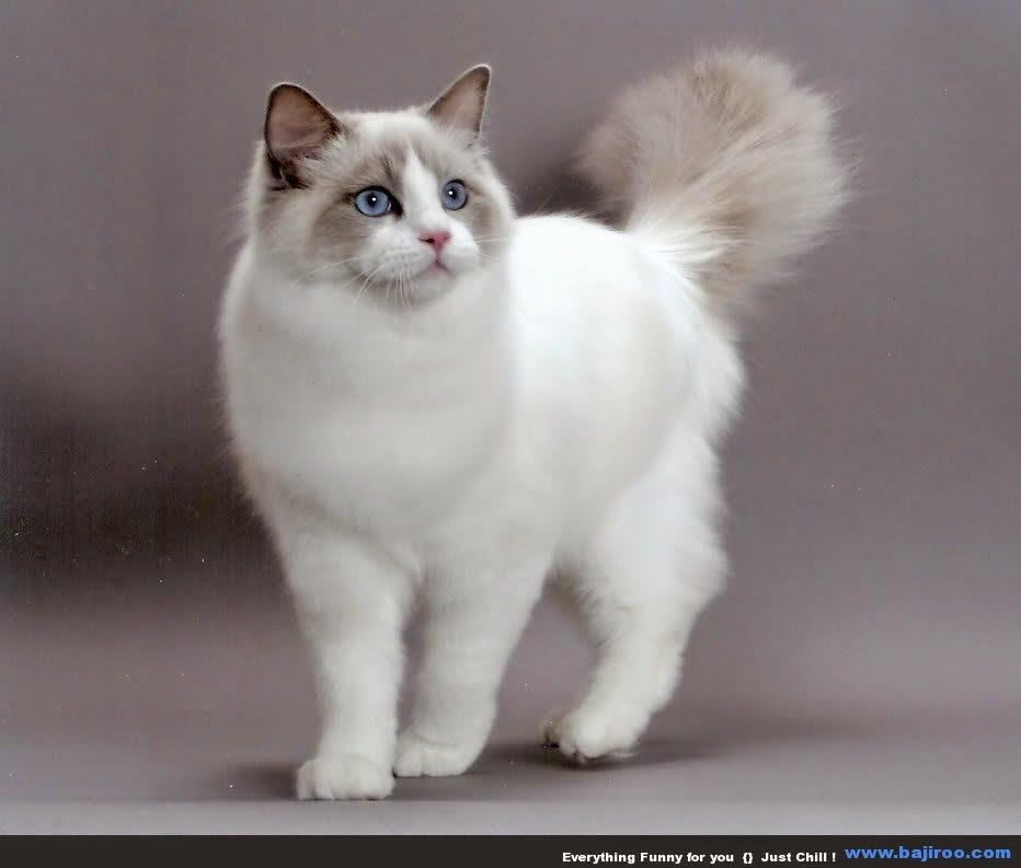 Gambar atau Foto Kucing Lucu dan Imut (Anggora, Persia ...