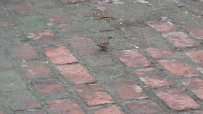 Burung Gereja Sendirian