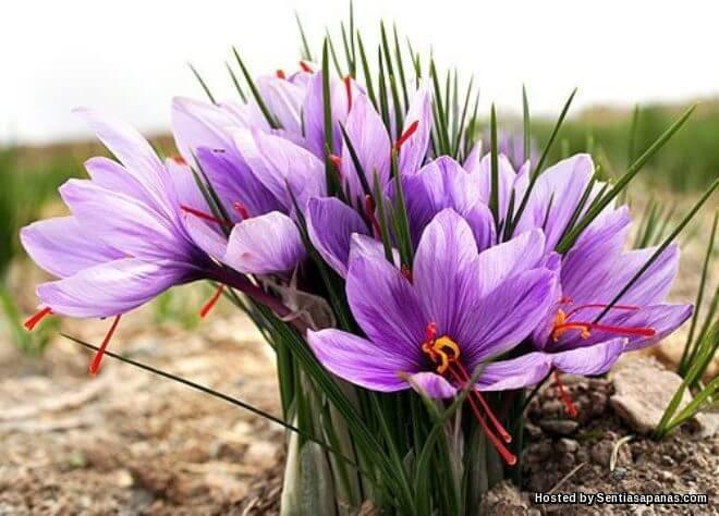 6 Khasiat Saffron Untuk Kesihatan, Herba Paling Mahal Di Dunia