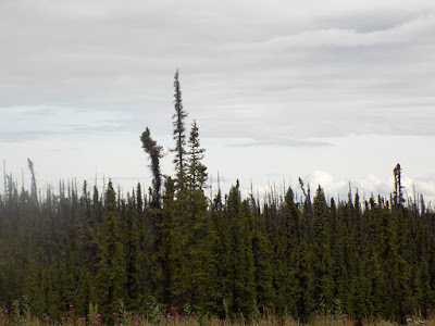 Black Spruce is a Slow-Growing Evergreen Conifer