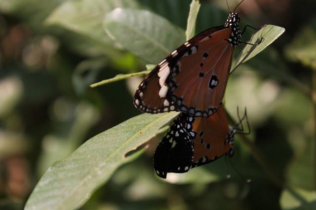 Breeding Butterfly, Butterfly Garden,