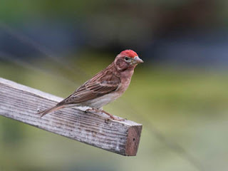 Photo of a male Cassin's Finch on a stick