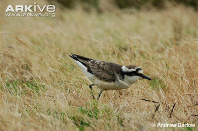 St Helena Plover