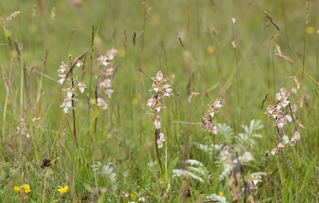 Marsh Helleborines - Lindisfarne