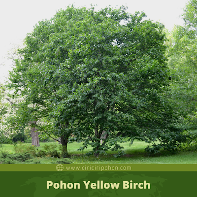 Ciri Ciri Pohon Yellow Birch