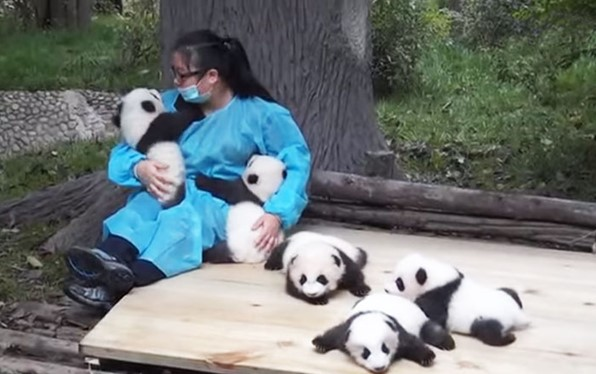 pengasuh panda