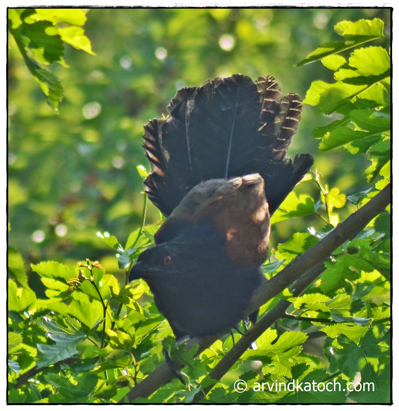 Greater Coucal, Spread of Tail