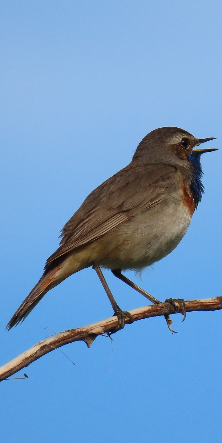 Picture of a bluethroat.