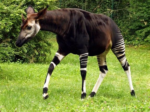 Okapi - O Hayvan İsimleri