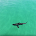 A SCARY SCENE BETWEEN A SHARK AND SURFERS