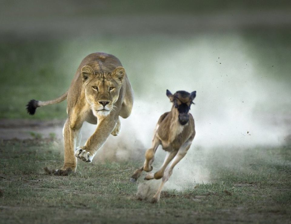 Wildlife Lion catch Deer