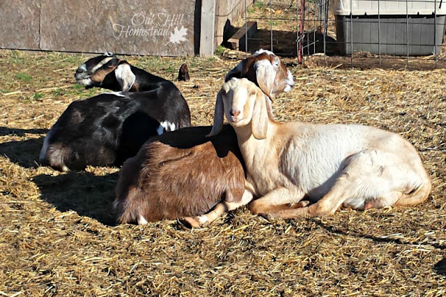 Happy goats produce more milk. Learn 15 ways to use goat milk.