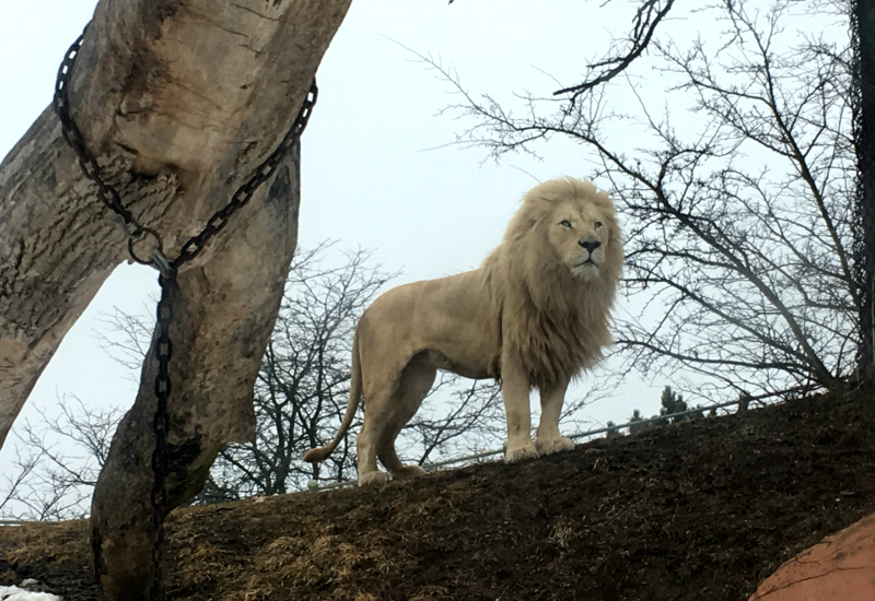 Lion at the Toronto Zoo