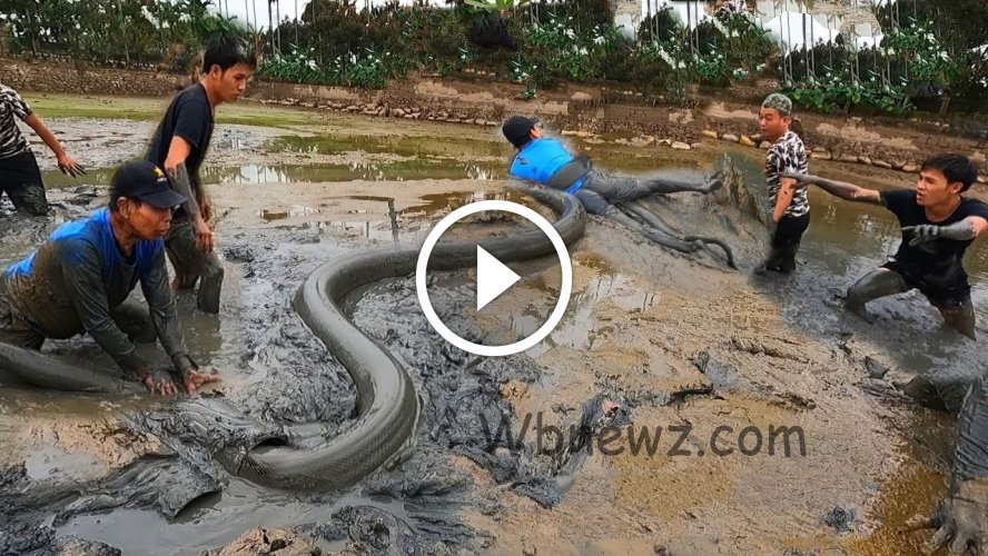 அடேங்கப்பா !! இவ்வளோ பெரிய அனகோண்டா பாம்பை எப்படி புடிக்கிறாங்க பாருங்க