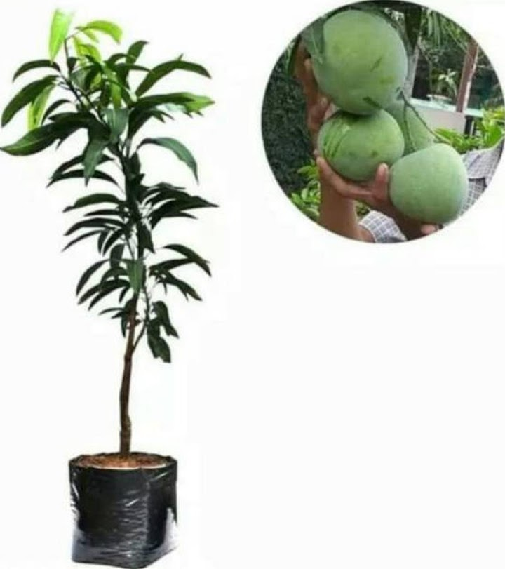 Bibit tanaman buah mangga kelapa benih buah mangga jumbo mangga super Pekanbaru
