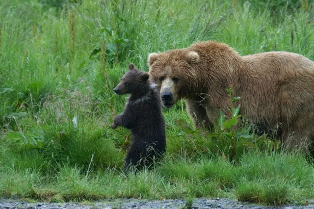 famous Kodiak brown bears KodiaK, Alaska 2