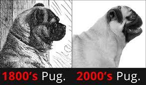 evolução do pug