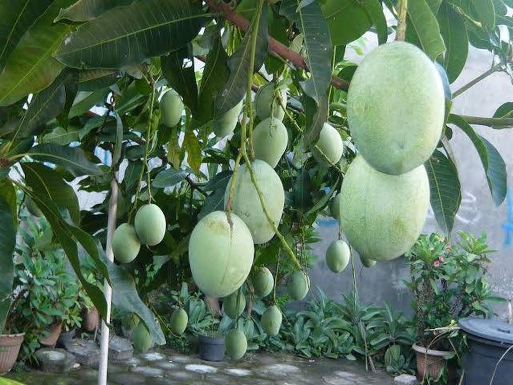 bibit mangga harumanis jenis unggul super genjah cepat berbuah arumanis harum manis okuladi cangkok Kalimantan Barat