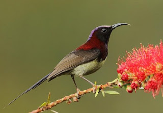 Burung black-throated sunbird (Aethopyga saturata) adalah spesies burung dari keluarga Nectariniidae dalam Genus: Aethopyga yang masih satu kerabat dengan Burung Madu Jawa.