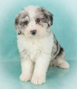 Micro Sheepadoodle Weight