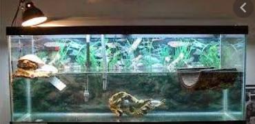 Cara Memelihara Kura-Kura Kecil di Aquarium