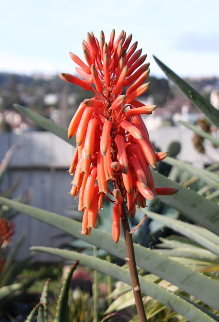 Aloe kedongensis blooming flower closeup