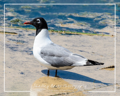 Franklin's Gull. Copyright © Shelley Banks, all rights reserved