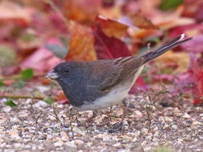 Photo of Dark-eyed Junco feeding on ground among colorful leaves