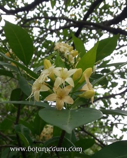 Fagraea fragrans, Tembusu, Ironwood flowers