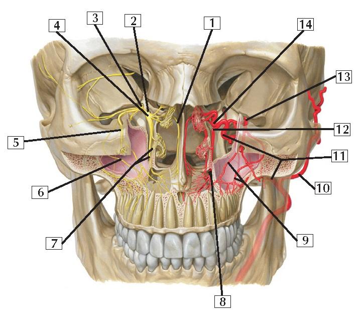 Pterygopalatine Fossa Anatomy