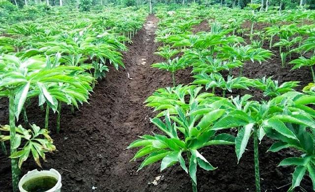 Tanaman Porong akan jadi komoditas unggulan di Lombok Timur