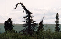 Trees of the Alaska Taiga: Permafrost stunted black spruce trees