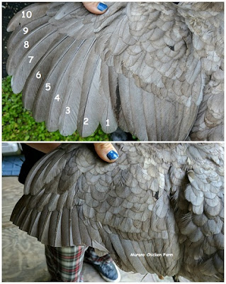 trimming chicken feathers, diagram
