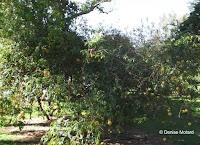 Black pomegranate tree - Foster Botanical Garden, Honolulu, HI
