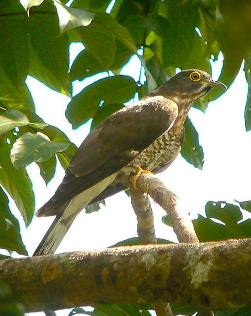 Indian birds - Large hawk-cuckoo - Hierococcyx sparverioides