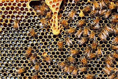 Beekeeping Apiculture Types of HoneyBee Honey Bee Scientific name