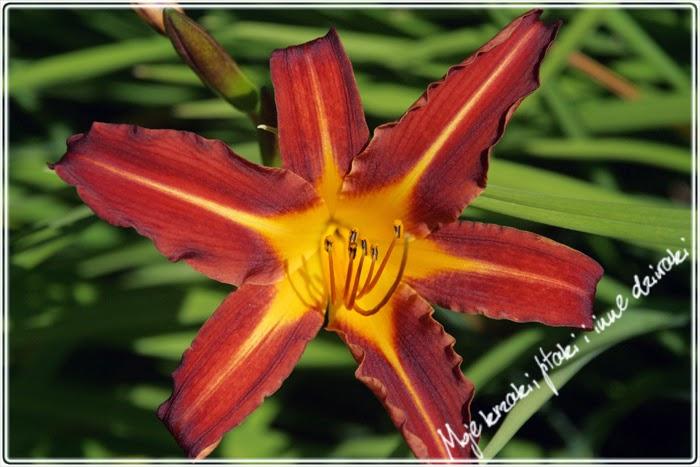 liliowce, odmiany liliowców,  lily varieties