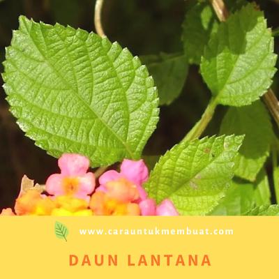 Daun Lantana