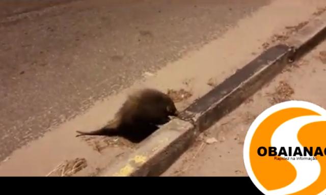 VEJA VIDEO - Ouriço Cacheiro é flagrado atravessando avenida do Trabalhador