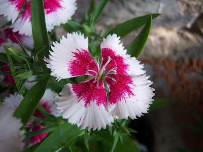 Resultado de imagen para Clavellina planta