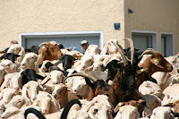 modal ternak kambing, bisnis kambing, bisnis ternak kambing, usaha ternak kambing, kambing, modal usaha kambing