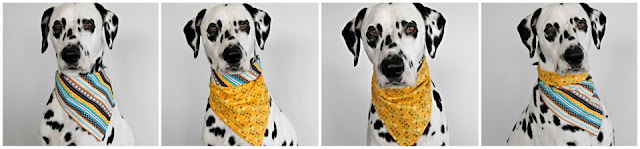 Dalmatian dog showing four different ways/styles to wear one bandana
